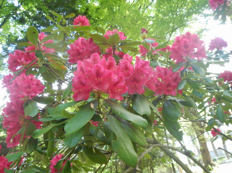 We did inherit some gorgeous rhododendron, though